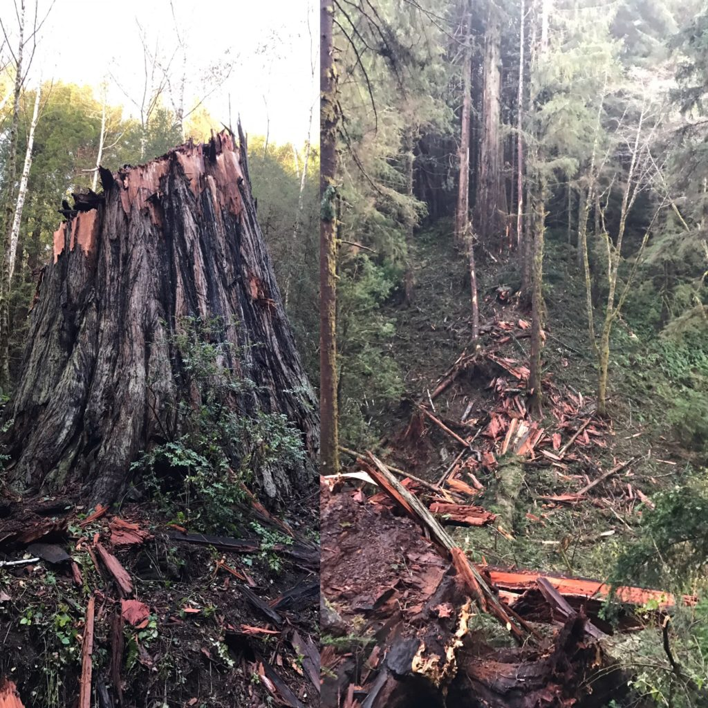 A freshly fallen old growth redwood. The Stump on the left, and the obliterated trunk on the right